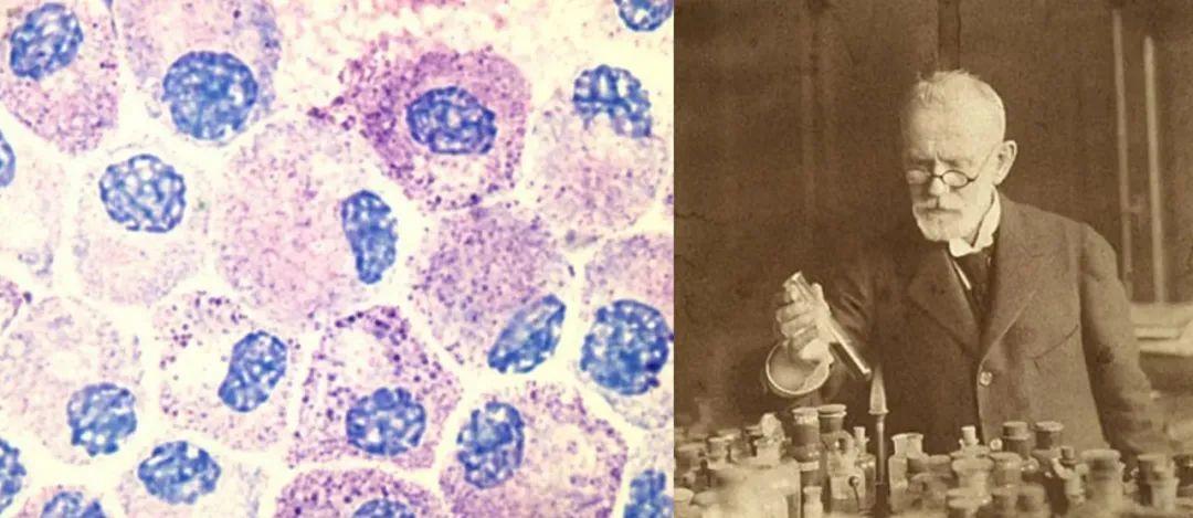用托尔蓝染色的肥大细胞&正在做实验的埃尔利希